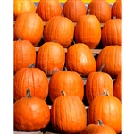 Wall of Pumpkins Printed Backdrop